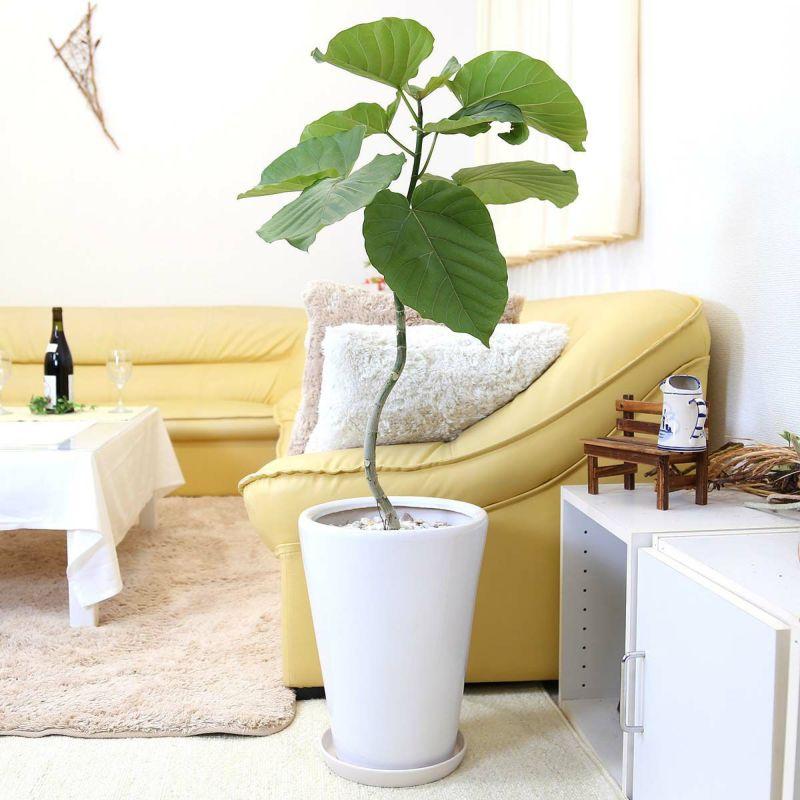 ウンベラータ 8号 ホワイト陶器鉢「丸形」