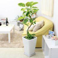 珍しいスパイラル仕立てのフィカス アルティシーマ・ホワイト陶器鉢 8号