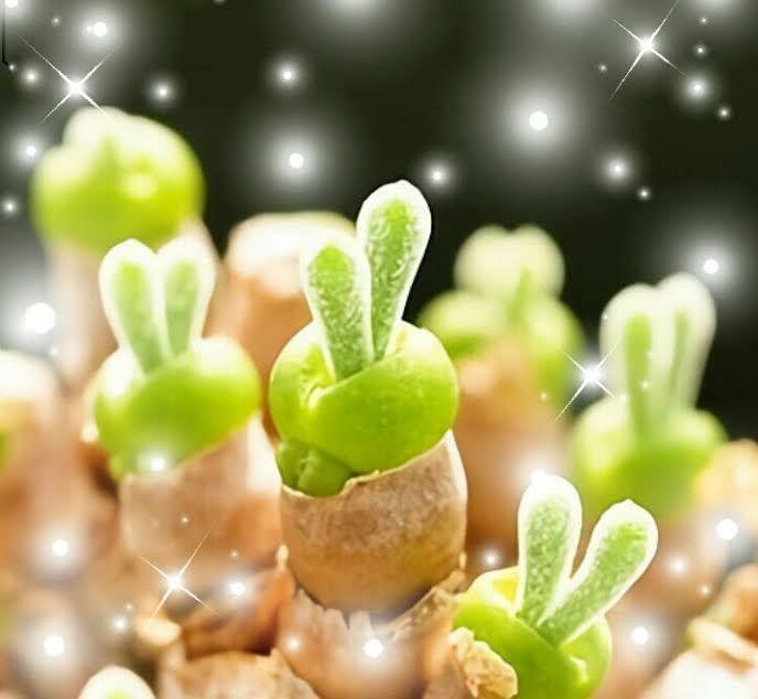 うさぎの耳 モニラリア 多肉植物 栽培セット