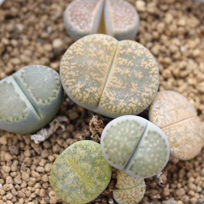 脱皮する生きた宝石 リトープス 多肉植物 栽培セット