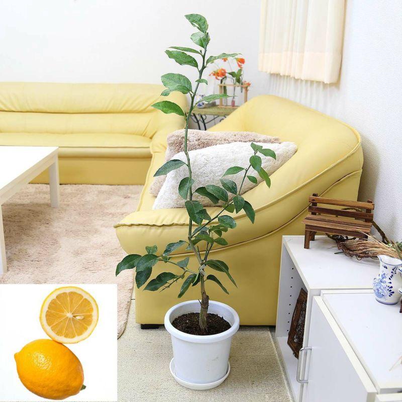 レモンの木「品種 マイヤーレモン」 7号