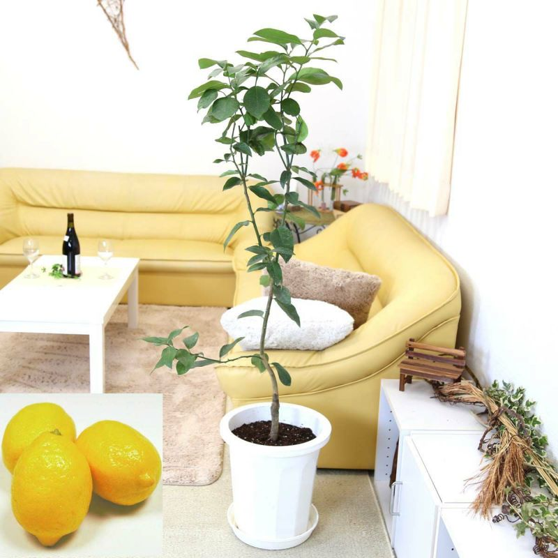 レモンの木 リスボン